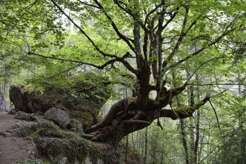 Linden Hoz De Beteta Tree Centenary