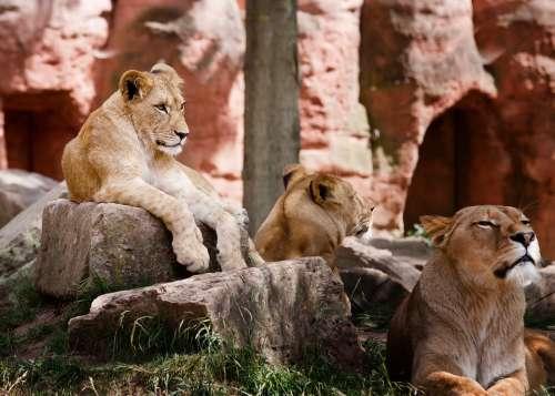 Lion Family Africa Wilderness Animal Safari Kenya