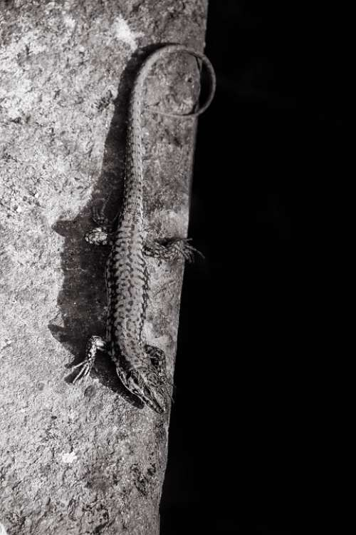 Lizard Black-And-White Contrast Reptile Animal
