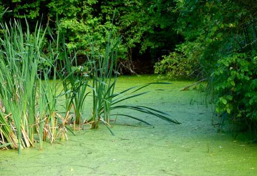 Mare Green Water Plant Marsh Grass Reed Nature