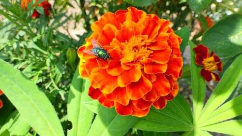 Marigold Flower Summer Nature Plant Garden
