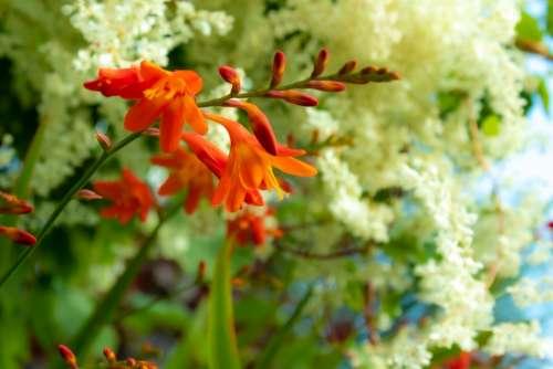 Montbretia Flower Garden Summer Hedgerow Outdoor
