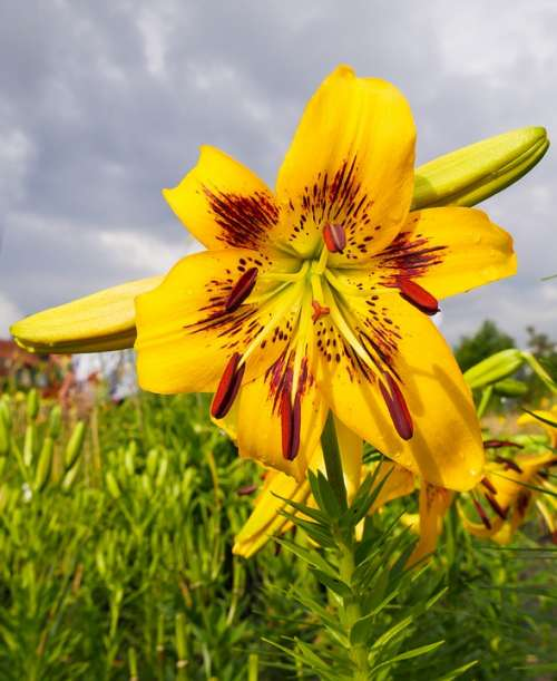 Nature Garden Flower Lily Yellow Blossom Bloom