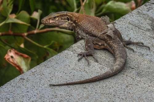 Nature Tenerife Animal Lizard
