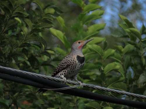 Northern Flicker Bird Bird On A Wire Woodpecker