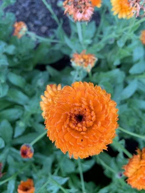 Orange Flowers Plant Blossom Gardening Summer
