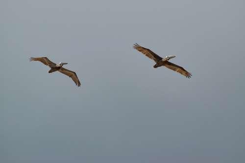 Pelican Bird Nature Flight Wildlife