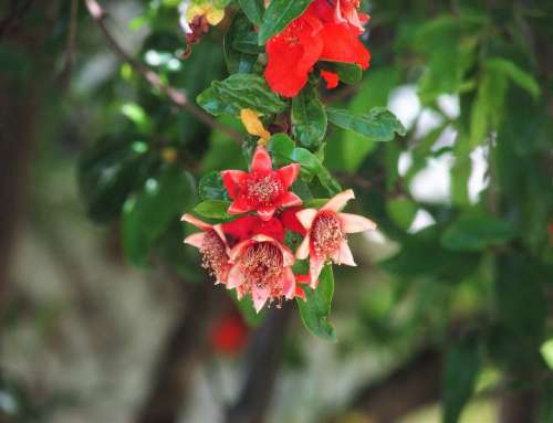 Pomegranate Red Bloom Flower Leaves Nature Green