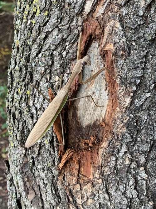 Praying Mantis Insect Nature Tree Bug Entomology