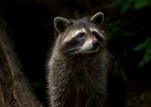 Raccoon Animal Nature Mammal Furry Animal World