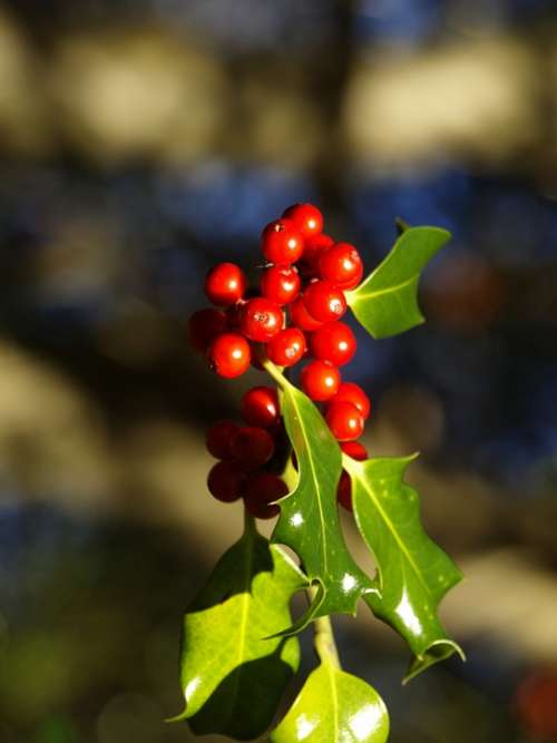 Red Berries Holly Nature Plant Winter