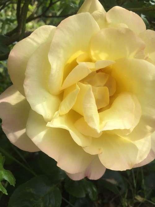 Rose Nature Garden Bouquet Bloom Romantic Roses