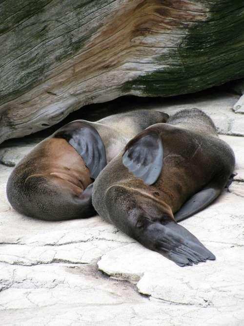 Sea Lions Zoo Marine Mammals Sleep Brown Fins