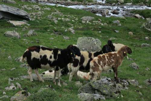 Sheep Mountain Sheep Goats Tyrol Mountain Landscape