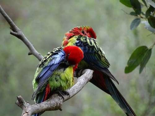 South Australia Birds Lorikeets