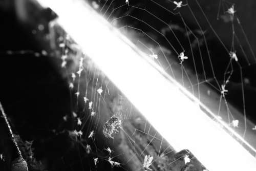 Spider Black And White Insects Terrifying Fear