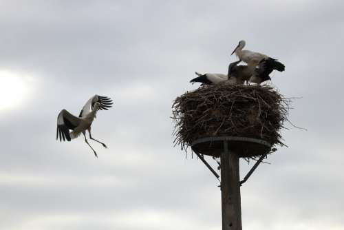 Stork Young Bird Nest Flying
