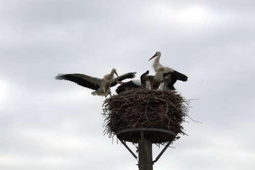 Stork Young Bird Flight Nest Wing