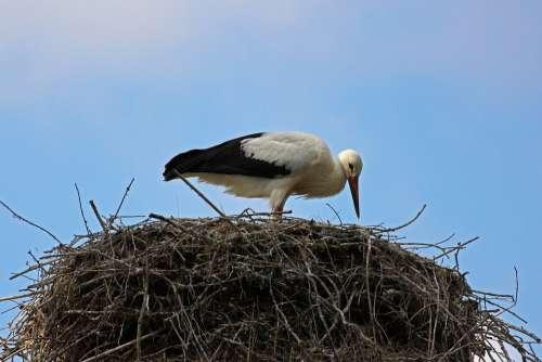 Stork Rattle Stork Bird Nature White Stork Feather