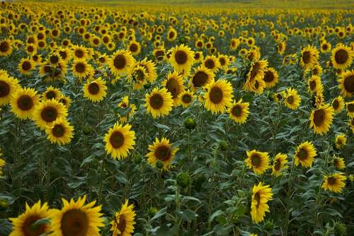 Sunflower Field Yellow Agriculture Bloom Plant