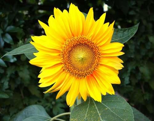 Sunflower Garden Flowers Nature Yellow Blossom