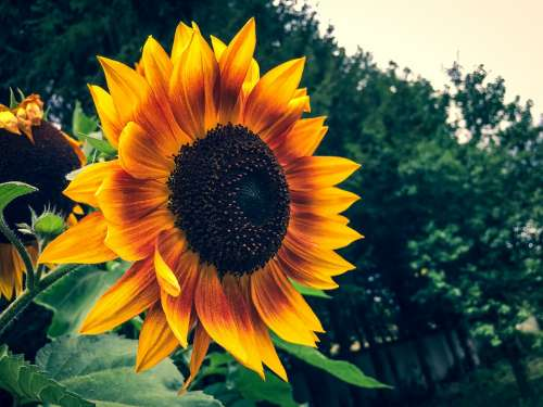 Sunflower Summer Garden Flower Yellow Blossom