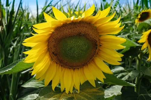 Sunflower Yellow Nature Bloom Sunny Bright Plant