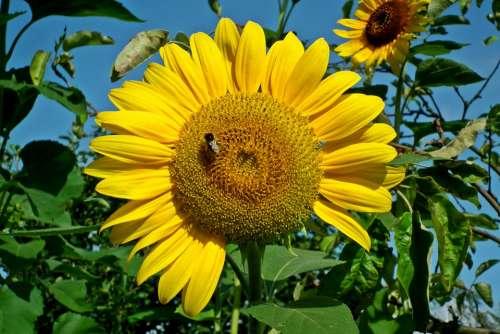 Sunflower Flower Garden Yellow Summer Pollen