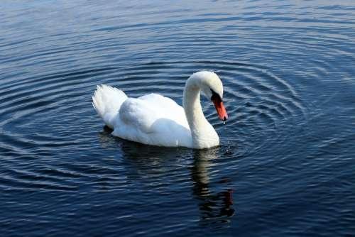 Swan Lake Water Bird Water Plumage White Swim