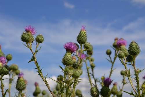 Thistles Thistle Flower Blossom Bloom Close Up