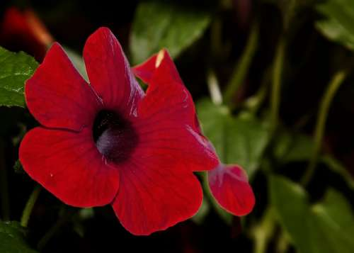 Thunbergia Flower Blossom Bloom Plant