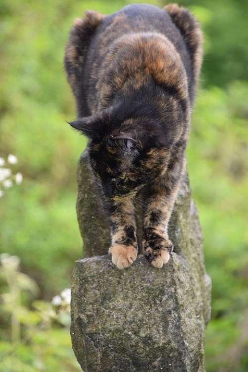 Tortoiseshell Cat Animal Cat Pet Tortoiseshell