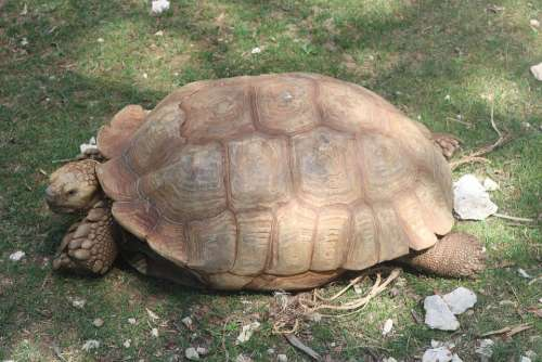 Turtle Carapace Reptile Nature Animal Giant