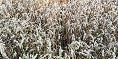 Wheat Summer Yellow Plant Field