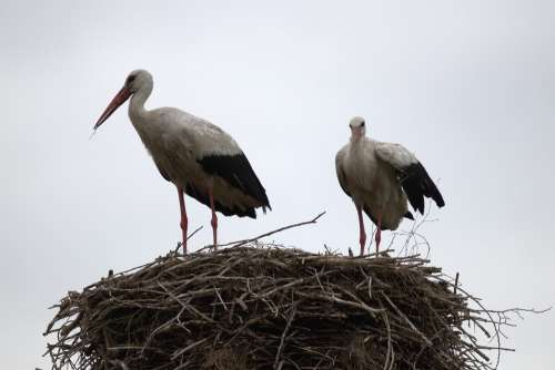 White Stork Adults Nature Nest