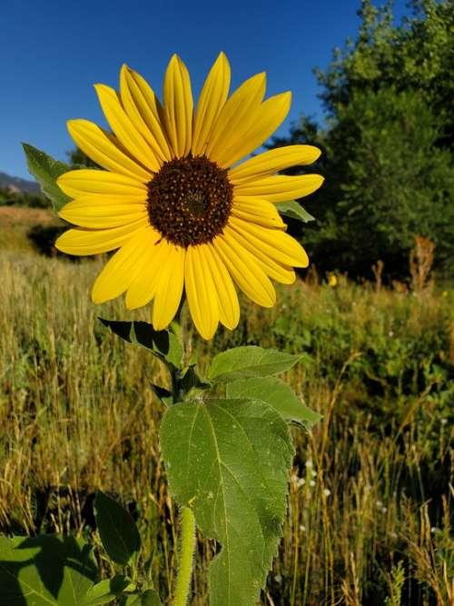 Wildflower Blue Sky Yellow Beautiful Nature Flower