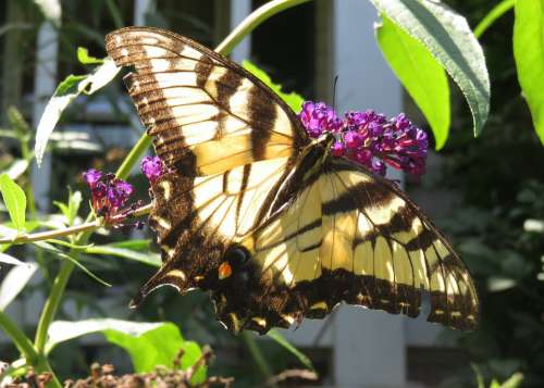 Yellow Eastern Tiger Swallowtail Butterfly Wings