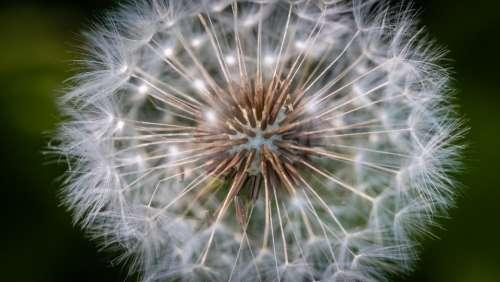 dandelion macro nature blossom plant
