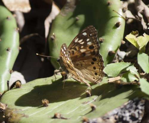 Speckled Wood Butterfly Photo