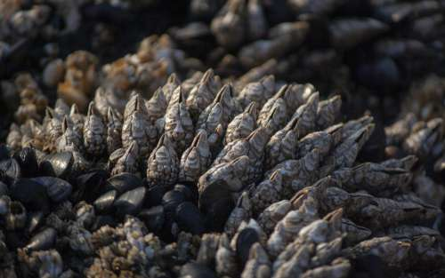 Bed Of Mussels Photo