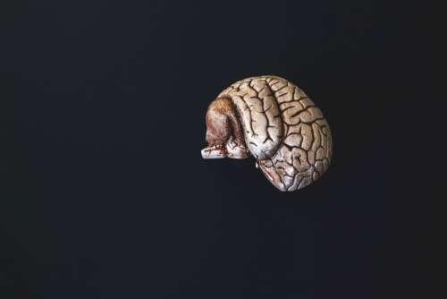 A Small Bronzed Model Brain Photo