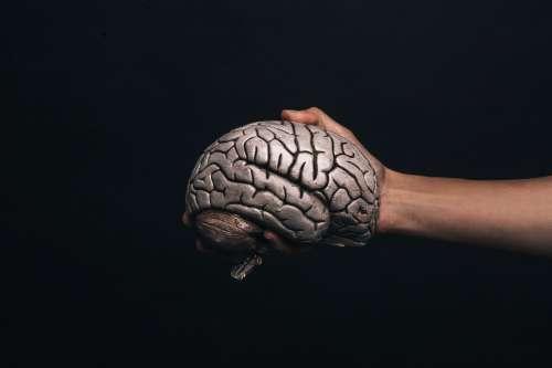 Hand Holds Model Brain Photo