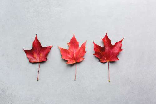 Three Maple Leaves In A Row Photo