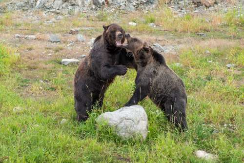 Two Brown Bears Play Fight Photo