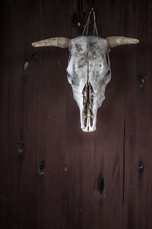 Cow skull hanging on wood
