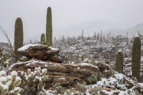 Snowing on Saguaros