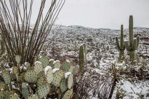 Cactus Pads in Snow