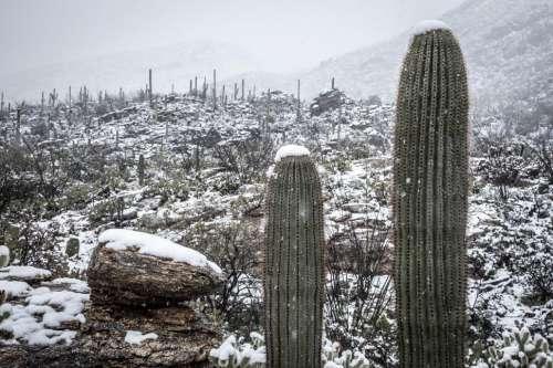 Two Sahuaro Cactus with Snow
