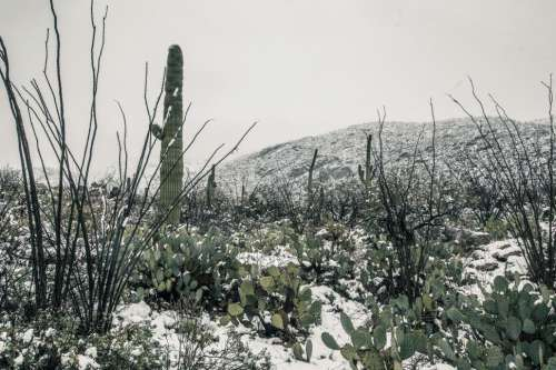 Cactus in the Desert with Snow