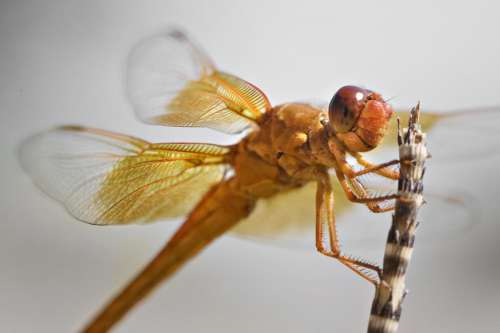 orange dragonfly perched on reed